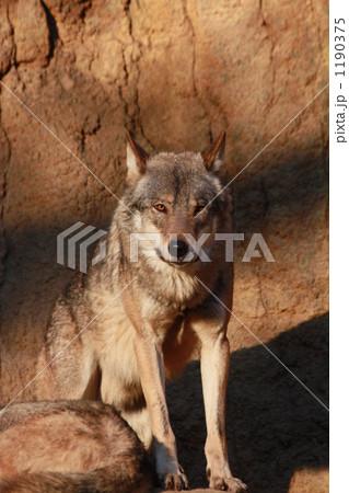 見つめるオオカミ 1190375