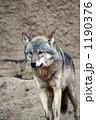 狼 ヨーロッパオオカミ オオカミの写真 1190376