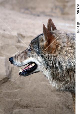 オオカミ-横顔 1190378