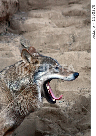 オオカミ-あくび 1190379
