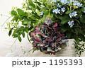 紫陽花 1195393