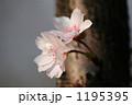 十月桜 1195395