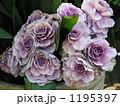 葉牡丹 1195397