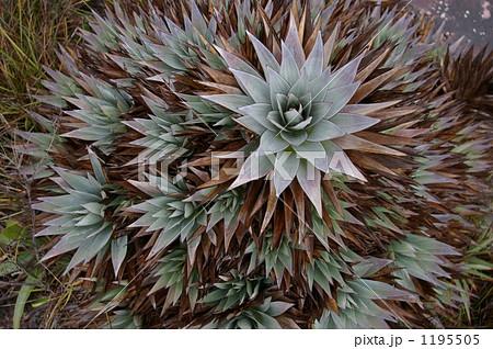 ロライマの植物 1195505