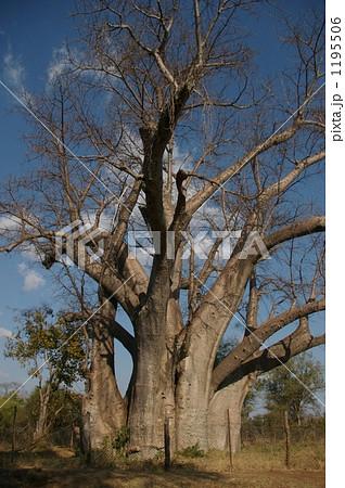 バオバブの大木 1195506