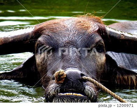 水牛の顔 1200971