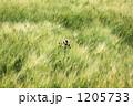 麦畑とアザミ 1205733