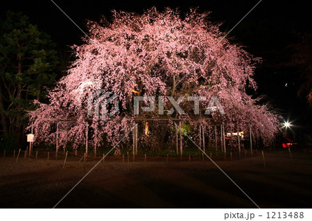 六義園の枝垂れ桜 1213488