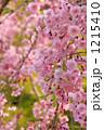 紅枝垂れ桜 紅枝垂れ ベニシダレの写真 1215410