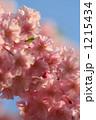 紅枝垂れ桜 紅枝垂れ ベニシダレの写真 1215434