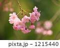 紅枝垂れ桜 紅枝垂れ ベニシダレの写真 1215440