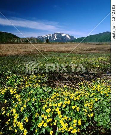 リュウキンカと至仏山 1242388