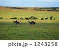 大草原 ダチョウ 野生動物の写真 1243258