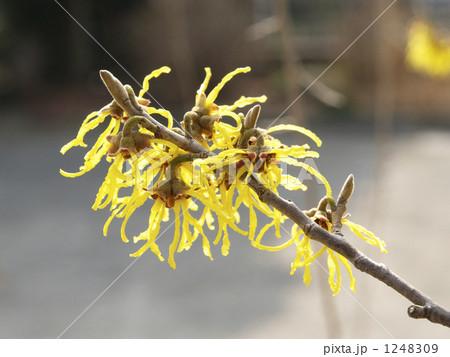 マンサクの黄色い花・アップ 1248309