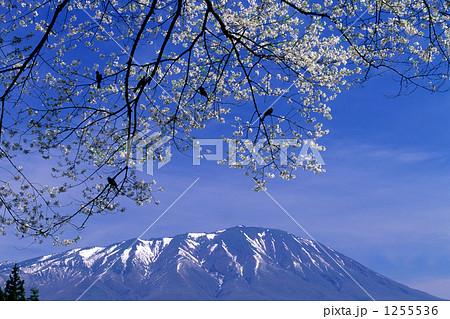 弘法桜と岩手山 1255536