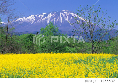 菜の花と岩手山 1255537