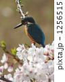 カワセミと桜 1256515