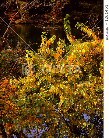 桑の葉紅葉 1261401