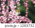 枝垂れ梅 メジロ 紅梅の写真 1263732