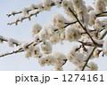 白梅 梅 積雪の写真 1274161