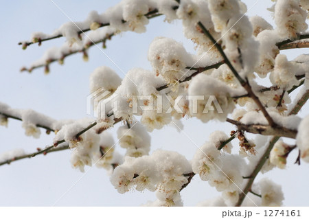梅の花と雪 1274161
