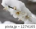 白梅 梅 積雪の写真 1274165