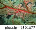オルトマンワラエビ  1301077
