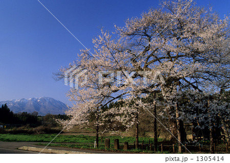 弘法桜と岩手山 1305414