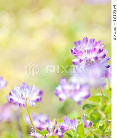 春先のれんげ畑とレンゲの花。の...