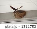 ヒナ ツバメ 巣の写真 1311752