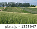 防風林 麦畑 丘の写真 1325947