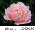 八重咲きチューリップ 1342080