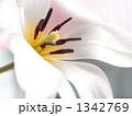 クルシアナ・レディージェーン 原種系チューリップ 花の写真 1342769