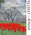 チューリップと桜 1346756
