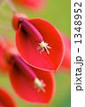 デイゴ アメリカデイゴ 植物の写真 1348952