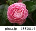 八重 椿 花の写真 1350014