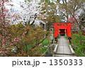 鳥居 ソメイヨシノ 桜の写真 1350333