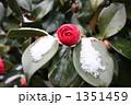 雪椿 花と雪 椿の写真 1351459