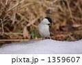 ハシブトガラ 嘴太雀 野鳥の写真 1359607