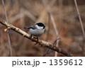 ハシブトガラ 嘴太雀 野鳥の写真 1359612