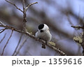 ハシブトガラ 嘴太雀 野鳥の写真 1359616