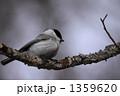 ハシブトガラ 嘴太雀 野鳥の写真 1359620