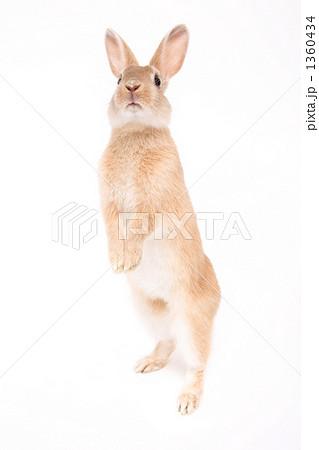 背伸びするウサギ 1360434