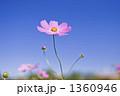 青空に咲く秋桜 1360946