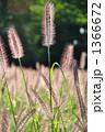 力芝 チカラシバ 植物の写真 1366672