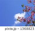 ピンクのハナミズキ 1368823