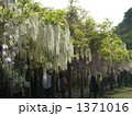 フジ ふじ 藤棚の写真 1371016