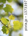 ユリノキ ゆりの木 ゆりのきの写真 1373397
