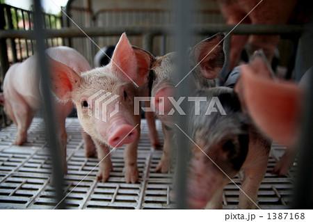 豚 1387168