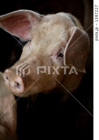 豚 1387227